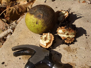 how to crack black walnut at home using hammer