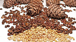 Siberian Cedar Pine Nuts Processing Industry in Russia