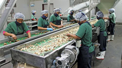 Macadamia Nuts Processing Industry in South Africa