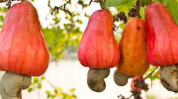 Information about Cashew Processing in India
