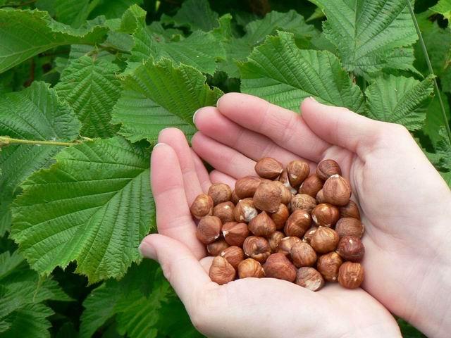 hazelnuts shelling