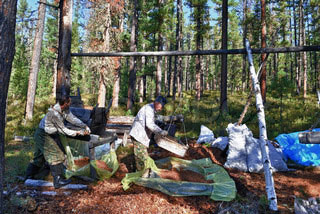 harvesting of pine nuts in Russia