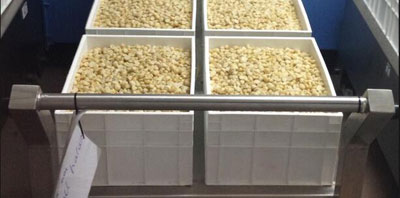 South Africa Shelled Macadamia Nut Kernels for Exportation