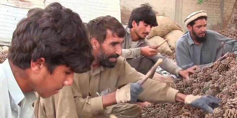 Pakistan pine nut processing industry