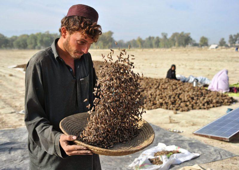 Pakistan pine nuts